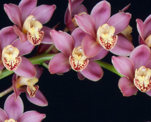 Cymbidium Carol Rogers'Hatfield's' photo1 by Arthur Pinkers