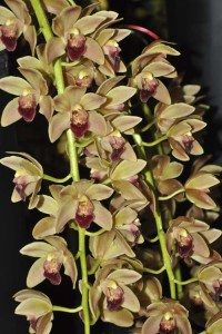 Cymbidium-Doris-Hirata-'#1'-photo-courtesy-Heidi-Kirkpatrick