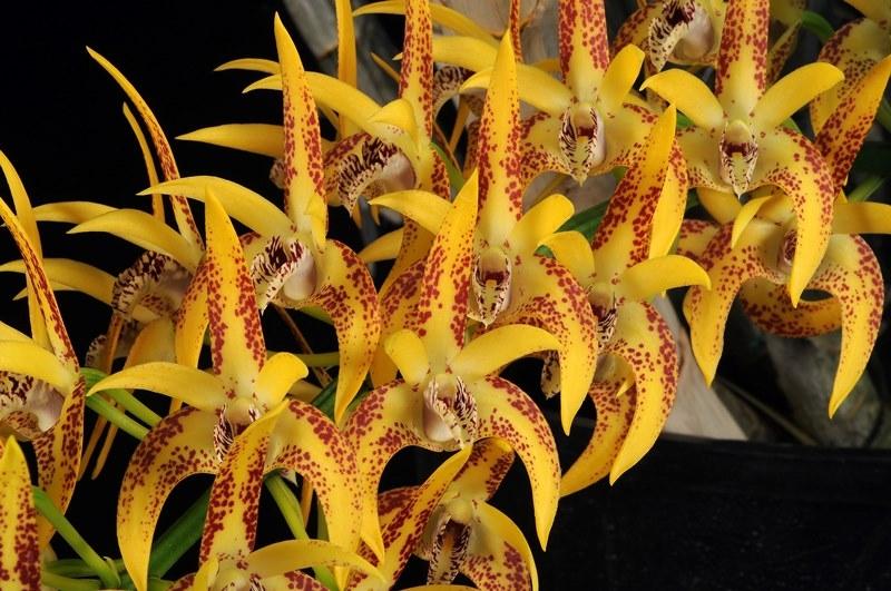section 125  u2013 australian hybrids  u2013 dendrobium avril u2019s gold